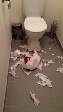 トイレットペーパーに夢中になる猫