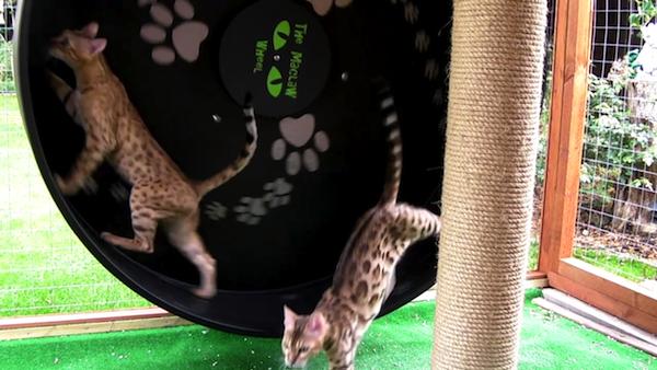 キャットホイールで、仲良く並んでエクササイズする猫