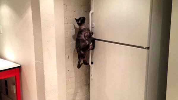 冷凍庫を大胆に開ける猫