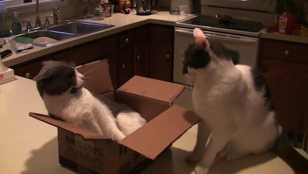 1つの段ボール箱をめぐり2匹の猫が争う