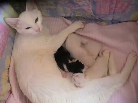 キプロス・アフロディーテの親猫と子猫6