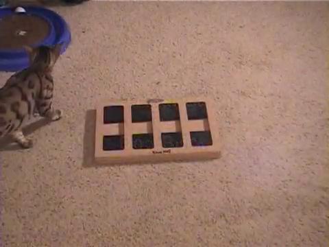 犬用パズル「ドッグブリック」で遊ぶベンガル猫1