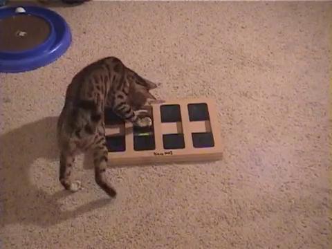 犬用パズル「ドッグブリック」で遊ぶベンガル猫3