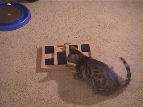 犬用パズル「ドッグブリック」で遊ぶベンガル猫7