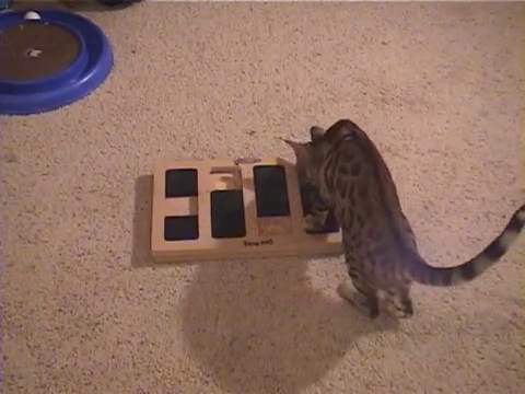 犬用パズル「ドッグブリック」で遊ぶベンガル猫8