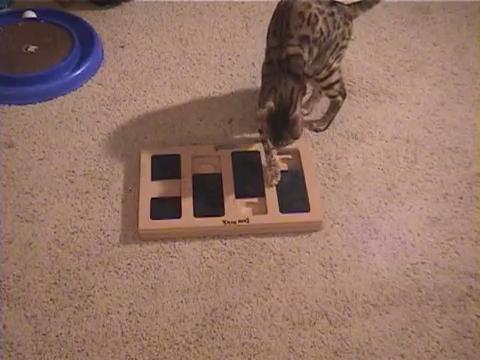 犬用パズル「ドッグブリック」で遊ぶベンガル猫10