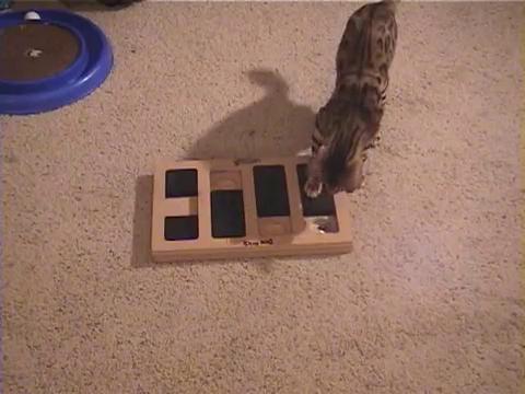 犬用パズル「ドッグブリック」で遊ぶベンガル猫11