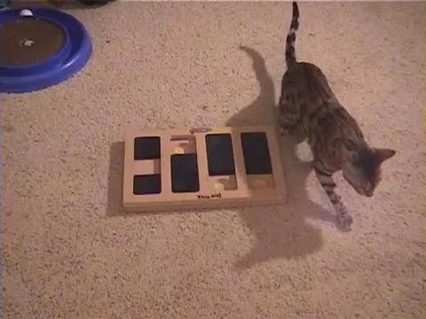 犬用パズル「ドッグブリック」で遊ぶベンガル猫13