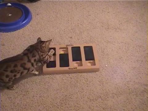 犬用パズル「ドッグブリック」で遊ぶベンガル猫15