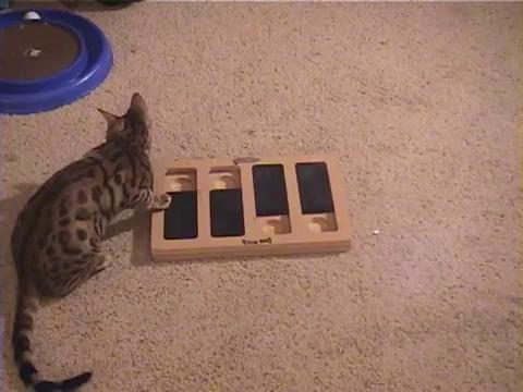 犬用パズル「ドッグブリック」で遊ぶベンガル猫17