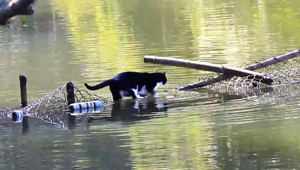 川を渡る野生猫ちゃん1