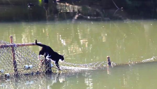 川を渡る野生猫ちゃん10