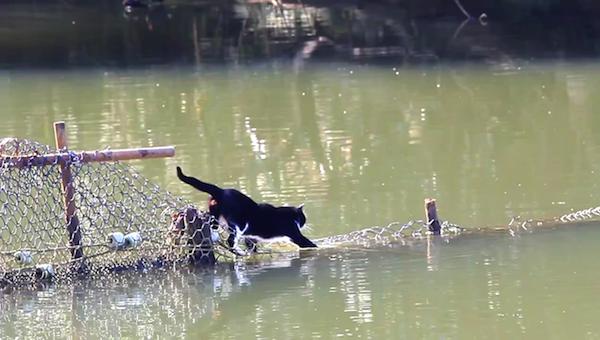 川を渡る野生猫ちゃん11