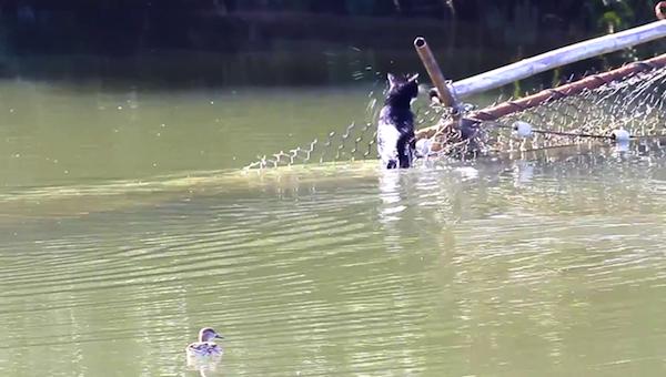 川を渡る野生猫ちゃん16