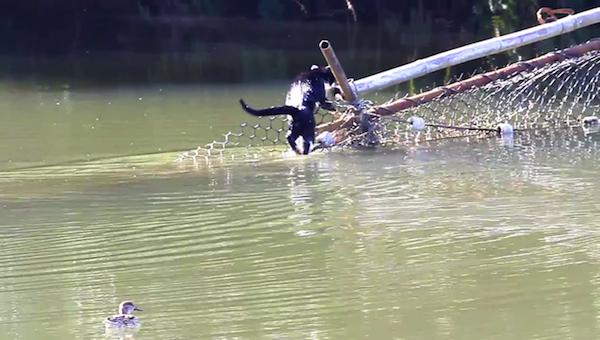 川を渡る野生猫ちゃん17