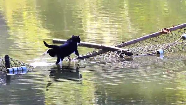 川を渡る野生猫ちゃん2