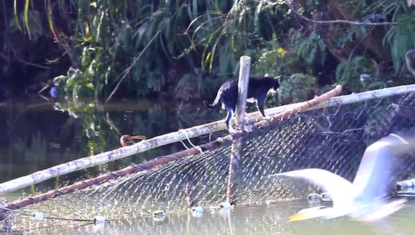 川を渡る野生猫ちゃん22