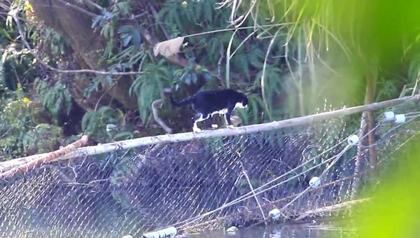 川を渡る野生猫ちゃん23