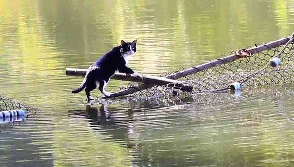 川を渡る野生猫ちゃん3