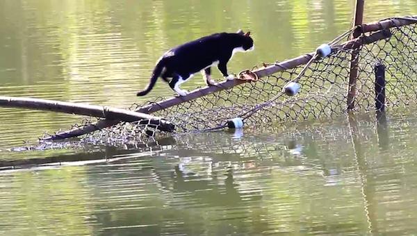 川を渡る野生猫ちゃん4