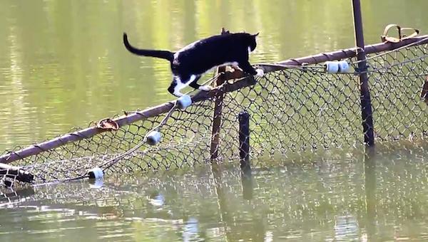 川を渡る野生猫ちゃん5