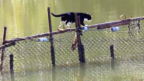 川を渡る野生猫ちゃん6