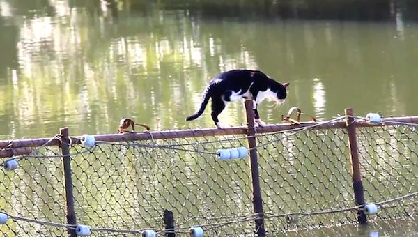 川を渡る野生猫ちゃん7