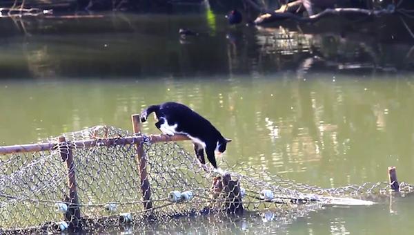 川を渡る野生猫ちゃん9