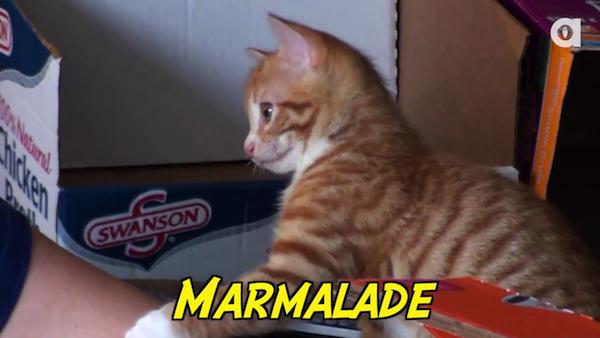 段ボール製の猫ちゃんハウスで遊ぶ、黒猫のコール君と茶トラ猫のマーマレード君。3