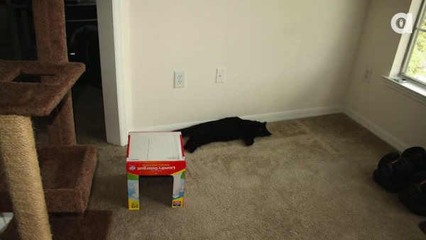段ボール製の猫ちゃんハウスで遊ぶ、黒猫のコール君と茶トラ猫のマーマレード君。5